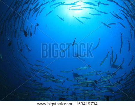 Barracuda fish and scuba divers