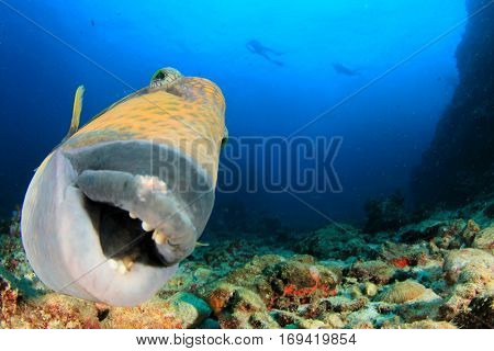 Titan Triggerfish fish close up portrait with scuba divers in background