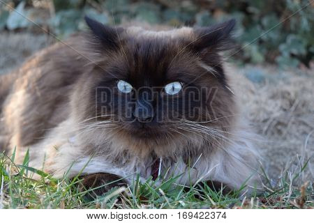 Blue-eyed Brown Ragdoll Pet Cat Lounging Outdoors