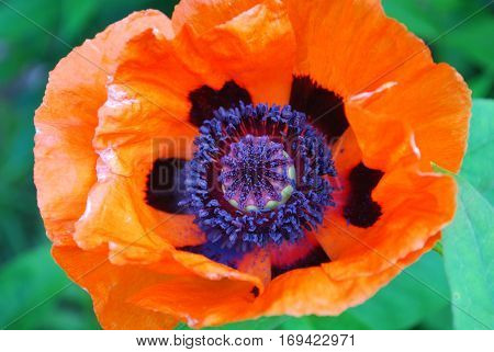 Orange oriental poppy flower blossom up close and personal.