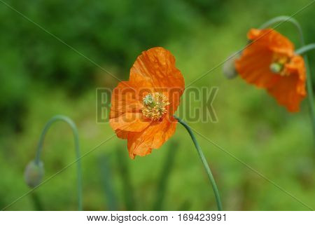 Flowering orange California poppy flower blossom with an exposed stamen.