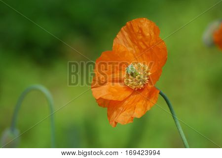 Gorgeous flowering California poppy flower blossom in a garden.