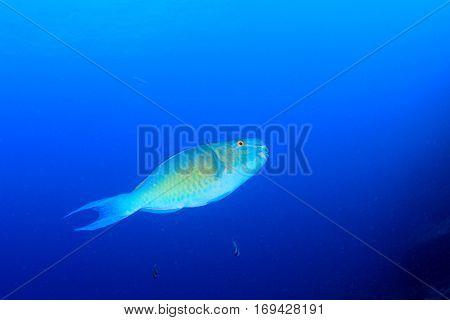 Parrotfish fish in blue sea water