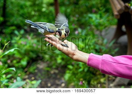 Small Titmouse On Women's Hand