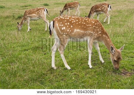 Four Fallow Deer does one in foreground three behind grazing in field standing sideways on