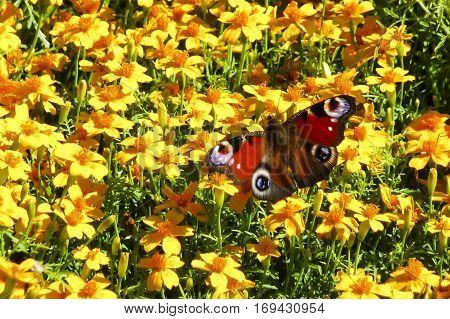 Single Peacock butterfly Aglais io nectaring among yellow garden flowers