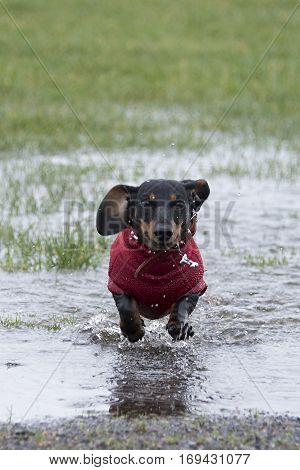 Black and tan smooth-haired miniature dachshund running through a puddle in the rain having fun and smiling with ears flapping