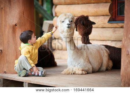 Cute little boy playing with a baby alpaca on farm