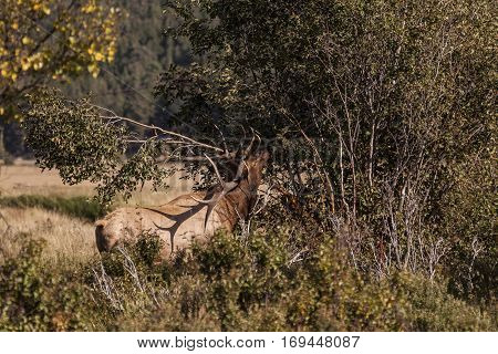 a bull elk rubbing  antlers on limbs