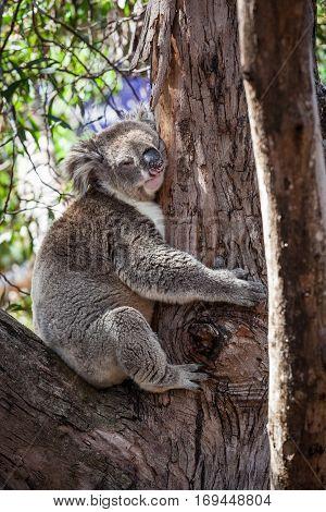 Portrait of Koala bear hugging a tree