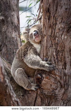Koala Hugging Eucalyptus Tree At Its Afternoon Nap.