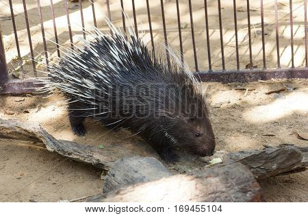 A porcupine in the zoo / wildlife animal