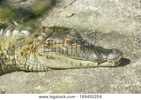 Caiman Crocodile lying and sunbathing on rock