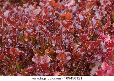 Red coral vegetable closeup background for design and decoration