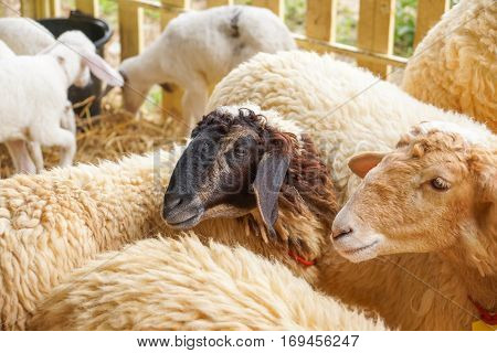 Sheep in a cage / farm animal