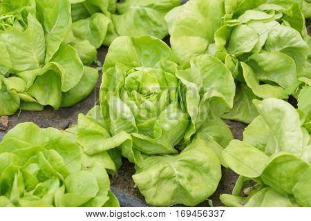 Fresh Butterhead vegetable in greenhouse / Organic farm