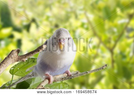 Young White Budgie In Roost On A Green Background