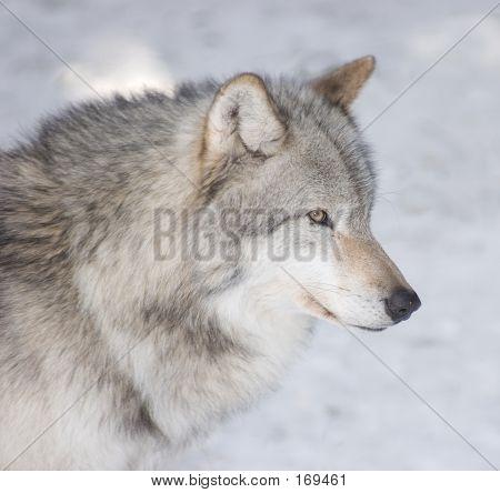 Timber Wolf Portrait