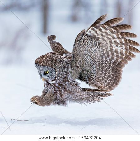 The great grey owl or great gray is a very large bird, documented as the world's largest species of owl by length. Here it is seen searching for prey in Quebec's harsh winter.