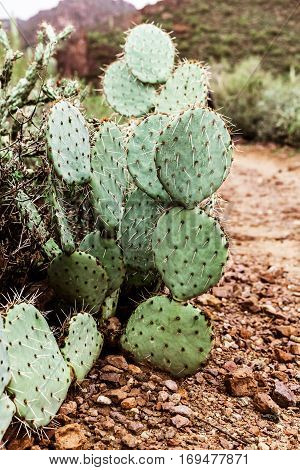 Prickly pear cactus in the desert of Arizona Tonto National Forest USA