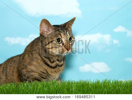 Young tabby cat sitting in tall grass to viewers right pupils dilated ready to pounce. Blue background sky with clouds