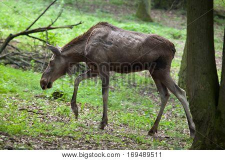 Eurasian elk (Alces alces alces), also known as the Eurasian moose.