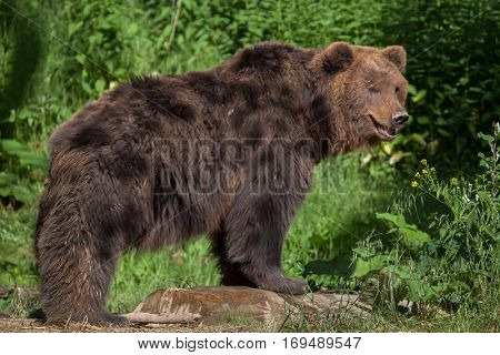 Kamchatka brown bear (Ursus arctos beringianus), also known as the Far Eastern brown bear.