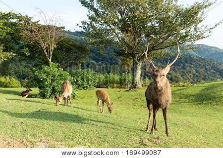 Stag Deer in Mount Wakakusa