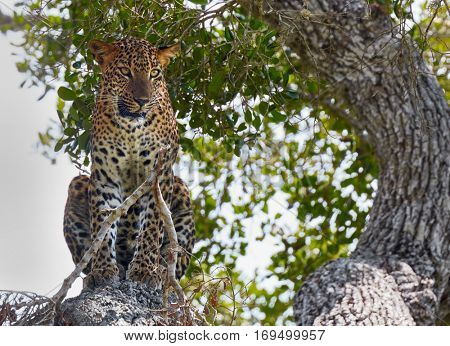 Leopard in wild nature. Yala national park, Sri Lanka