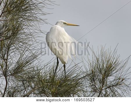Great Egret (Ardea alba) in breeding plumage amongst the Casurinas at the lake side roosting.
