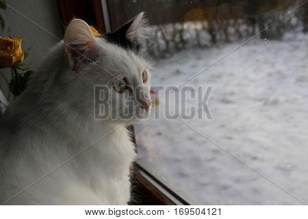 white og black cat breed Turkish Van Vankedisi or Turkish Angora, snow outside the window