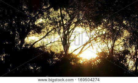 Golden sunset light through silhouette of Australian bush gum eucalyptus trees