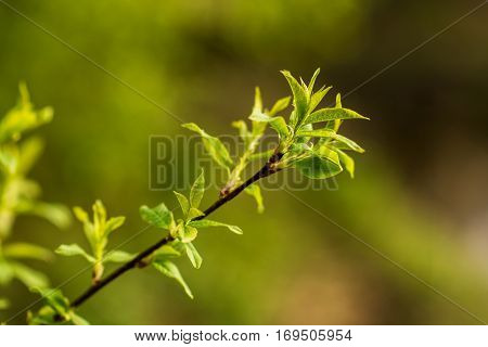 first spring tree sprouts in the forest
