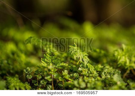 first spring grass sprouts in the forest
