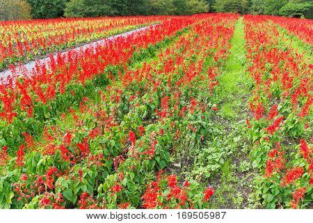 Red Salvia garden