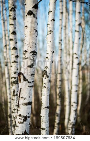 vertical picture of early spring white birch forest
