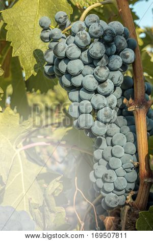 A vibrant photo of wine grapes hanging from a vine in a vineyard, just before the autumn harvest, with a lightened fragment for copy space