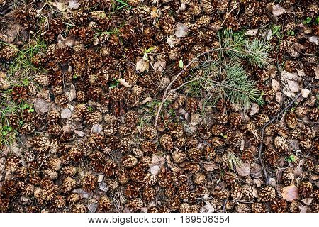 autumn or spring forest pine strobile background
