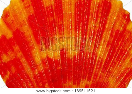 Colorful sea shell of mollusk on white background close up