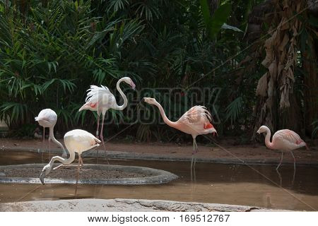 Magnificent Andean flamingos. A picturesque bird in the South American zoo of exotic tropical birds