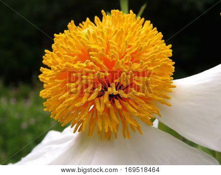 White pom pom pom-pom peony flower in garden yellow middle centre centre poster