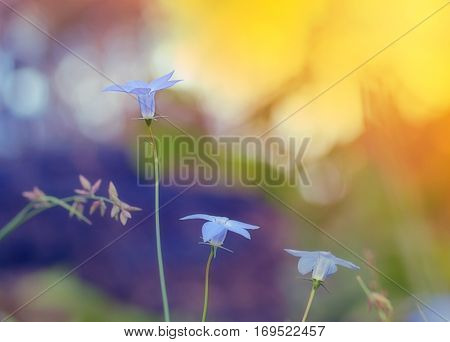 Wahlenbergia Australian wildflower native bluebell with bright daylight background