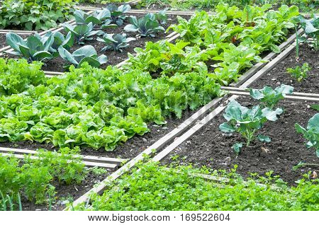 Lettuce and red cabbage plants on a vegetable garden ground with other vegetables in the background