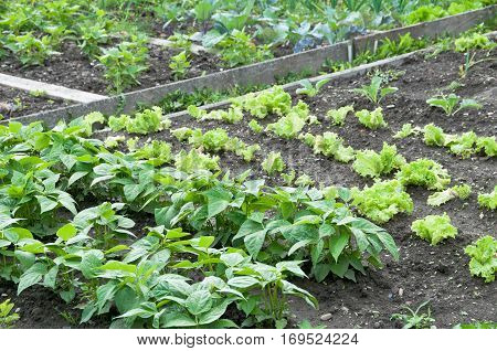 Fresh young string bean plants,lettuce and kohlrabi plants  on a vegetable garden patch