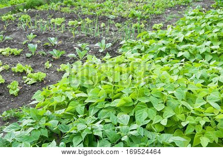 Bush beans on a vegetable garden ground with other vegetables in the background.