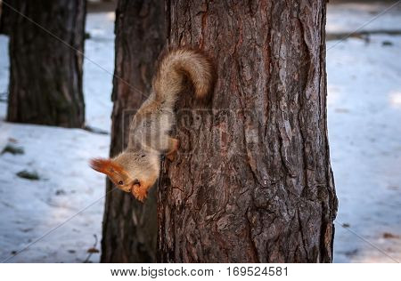 squirrel on a pine tree eats a nut. wild animals. endangered species.