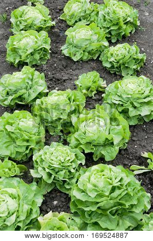 Fresh green lettuce on a vegetable garden patch