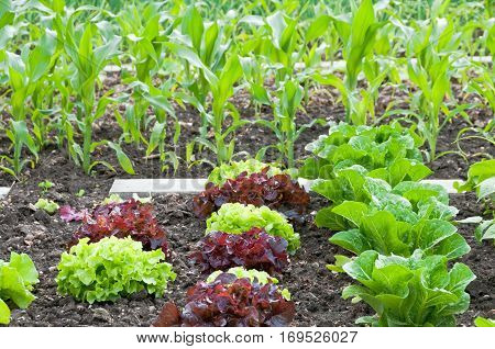 Lettuce and corn plants on a vegetable garden ground.