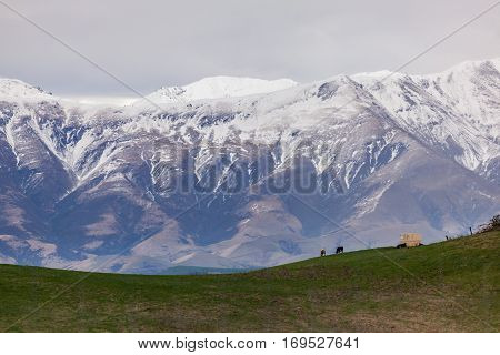 Cows grazing in farmland at the base of a mountain range near Lake Tekapo in the South Island of New Zealand.