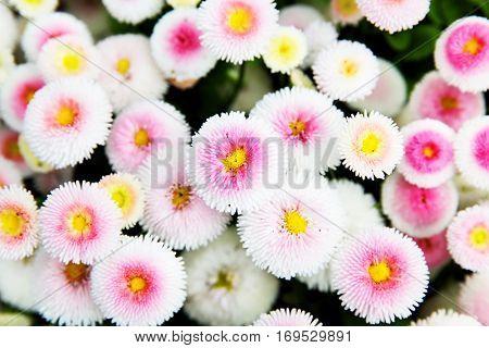 Bellis perennis - daisies in a garden. Shallow DOF!